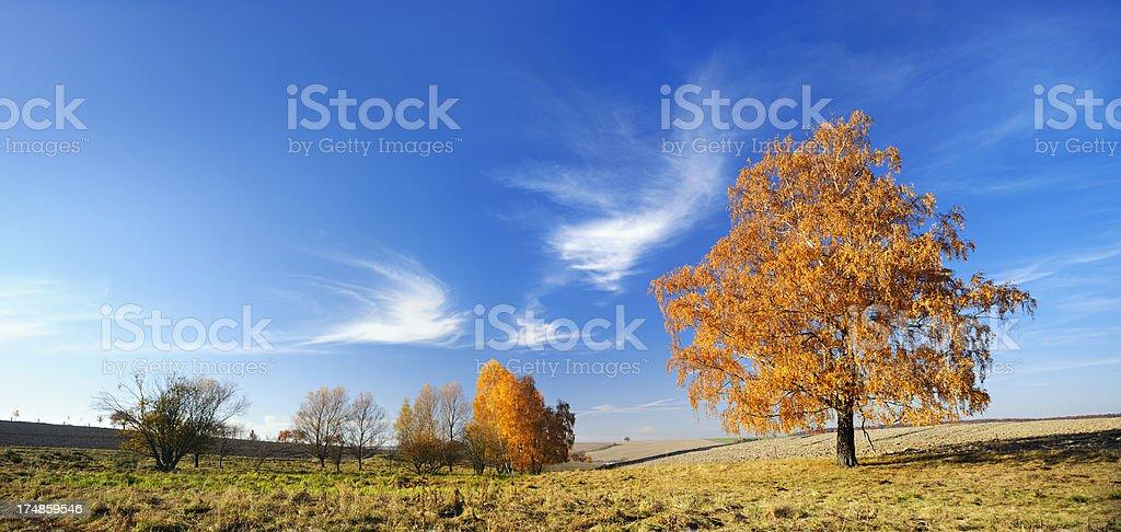 Blazing Birch Trees in Rural Autumn Landscape royalty-free stock photo