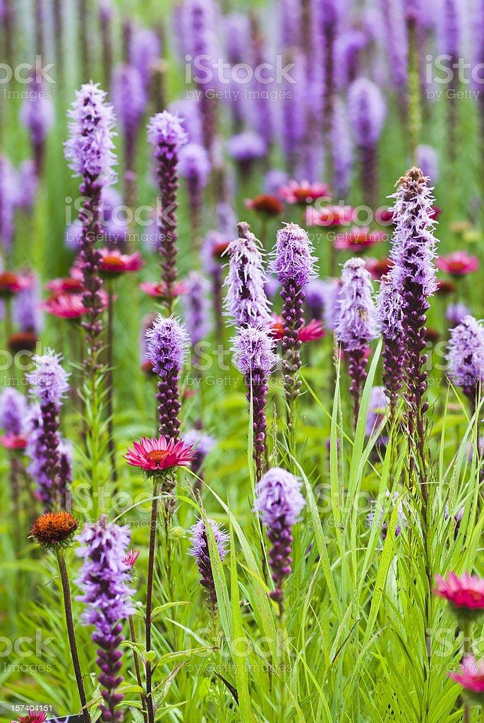 Blazing star (Liatris) flowers - I royalty-free stock photo