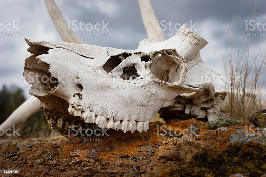 Bleached Bones in Yellowstone royalty-free stock photo
