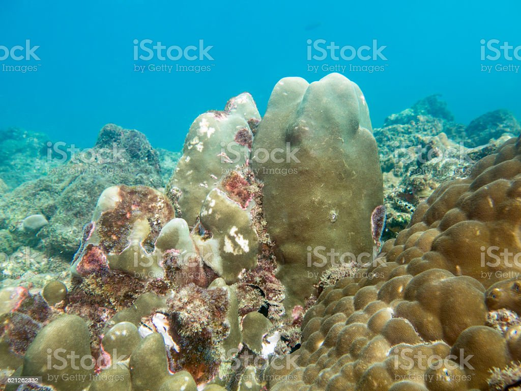 Bleached Coral (phylum Cnidaria) Global Warming Climate Change El Nino stock photo