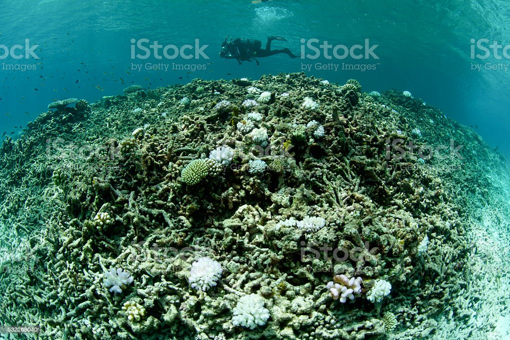 bleached coral with lone diver stock photo
