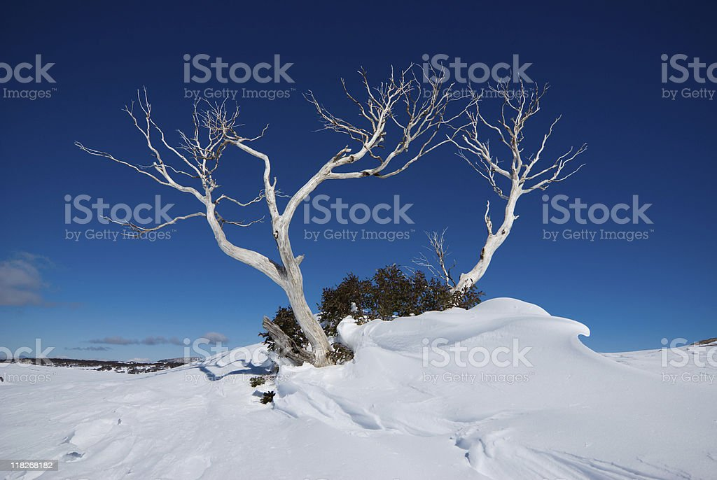 Bleached snow gum emerging from windswept snow, Falls Creek, Australia stock photo