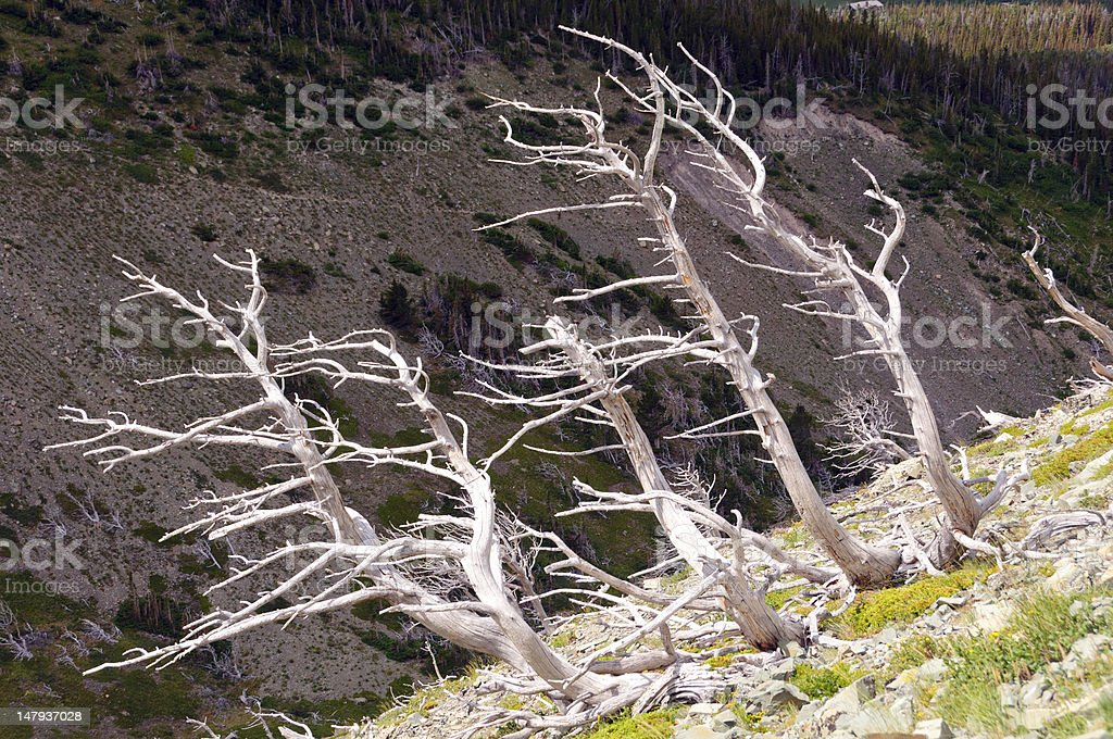 Bleached tree trunks on a mountain slope stock photo