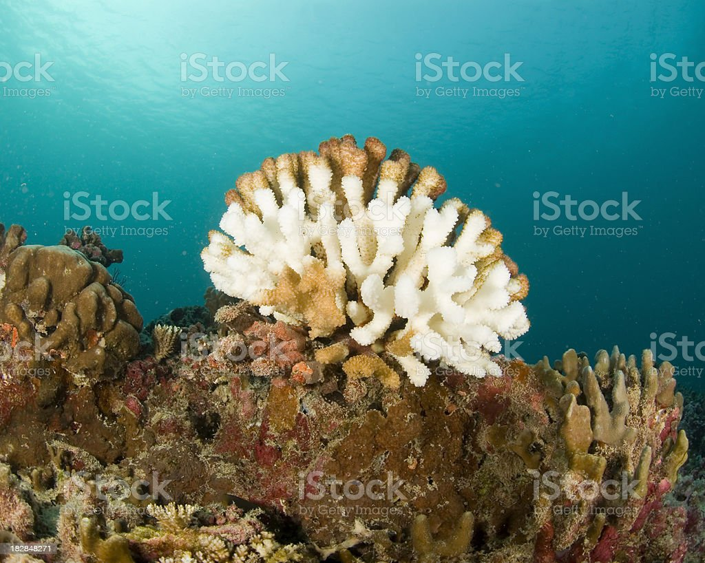 bleached wart coral center frame stock photo