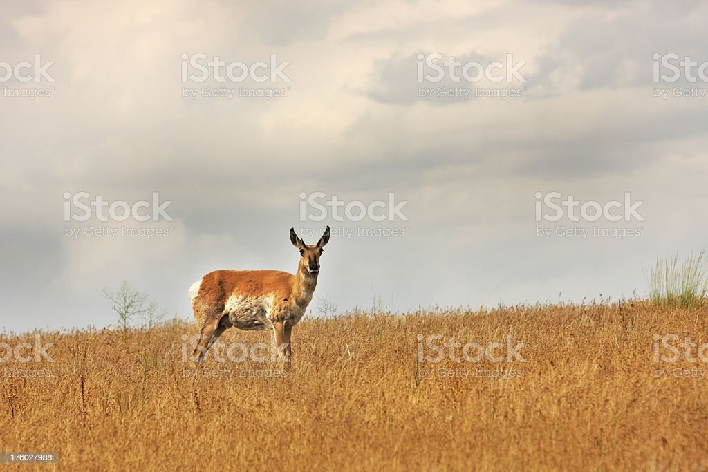 Bleating Antelope Antilocapra americana stock photo