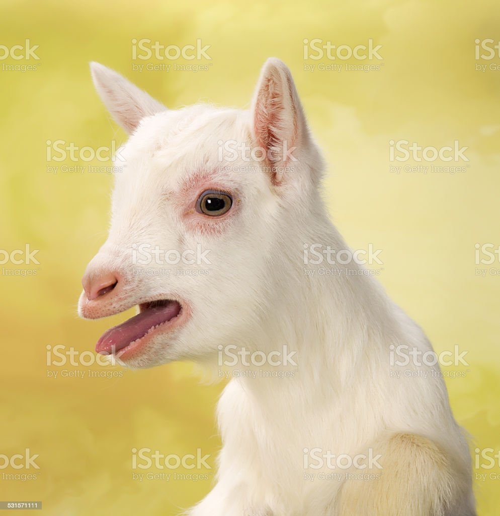 Bleating baby goat stock photo