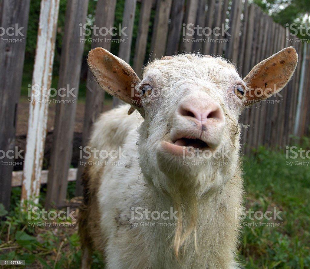 Bleating goat stock photo