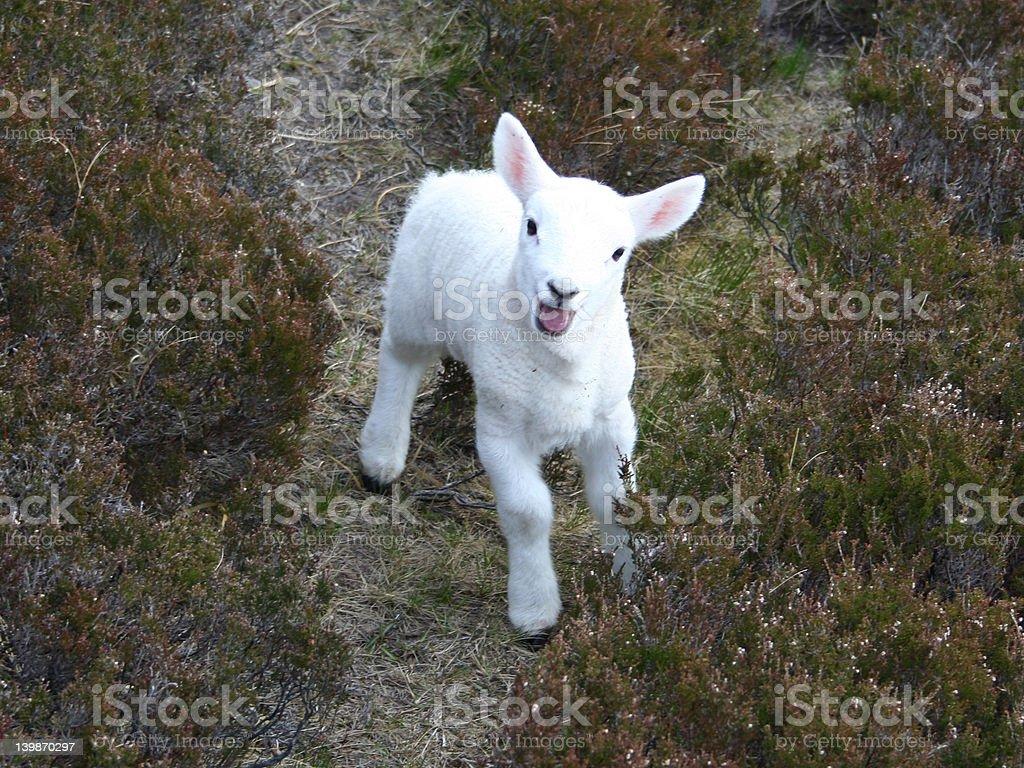 bleating lamb close up stock photo