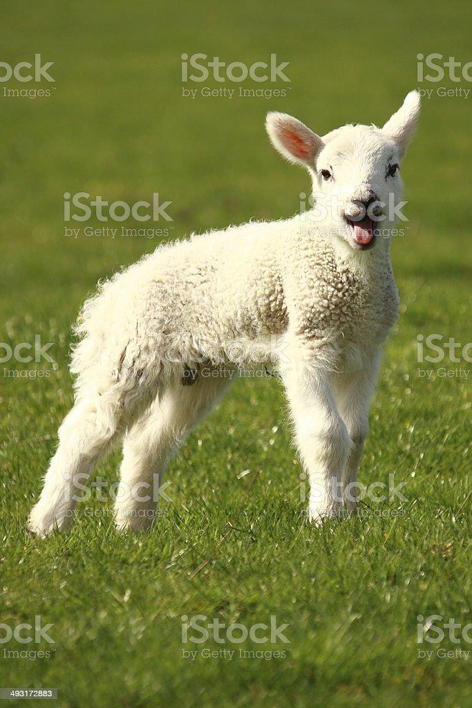bleating little lamb stock photo
