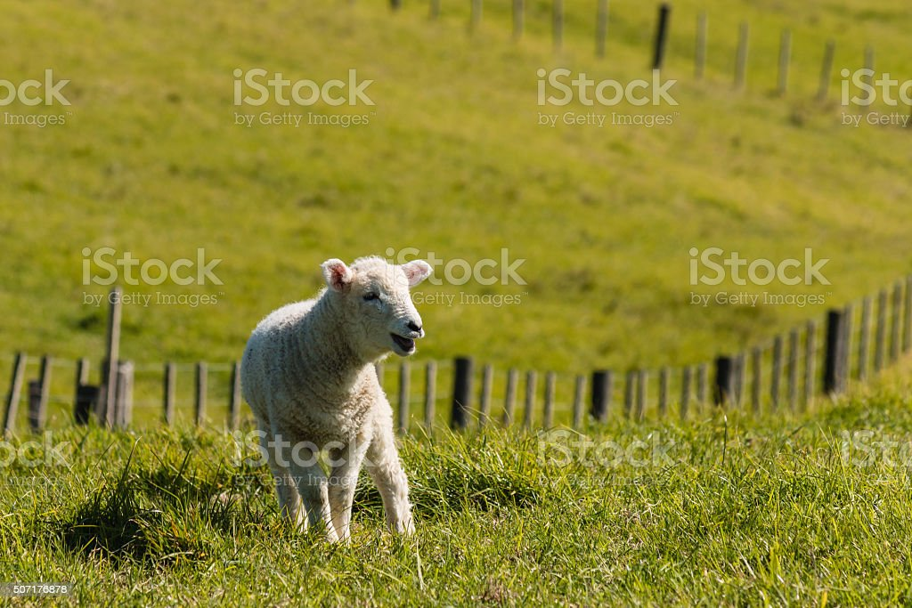 bleating newborn lamb in paddock stock photo