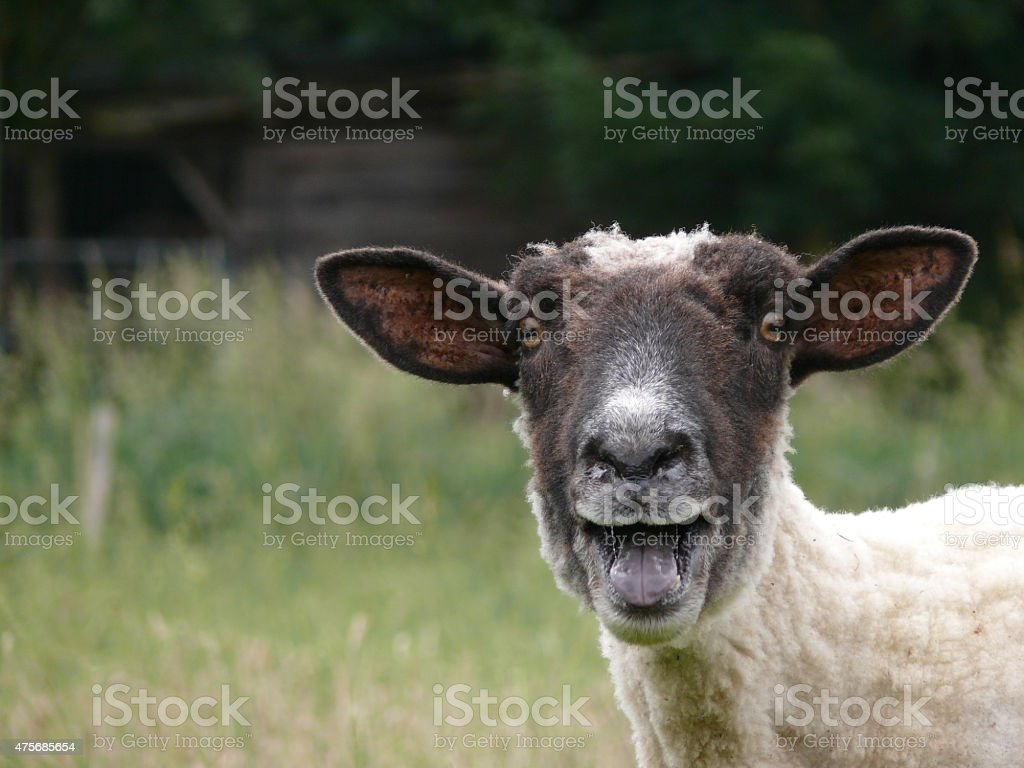 Bl?kendes Schaf royalty-free stock photo