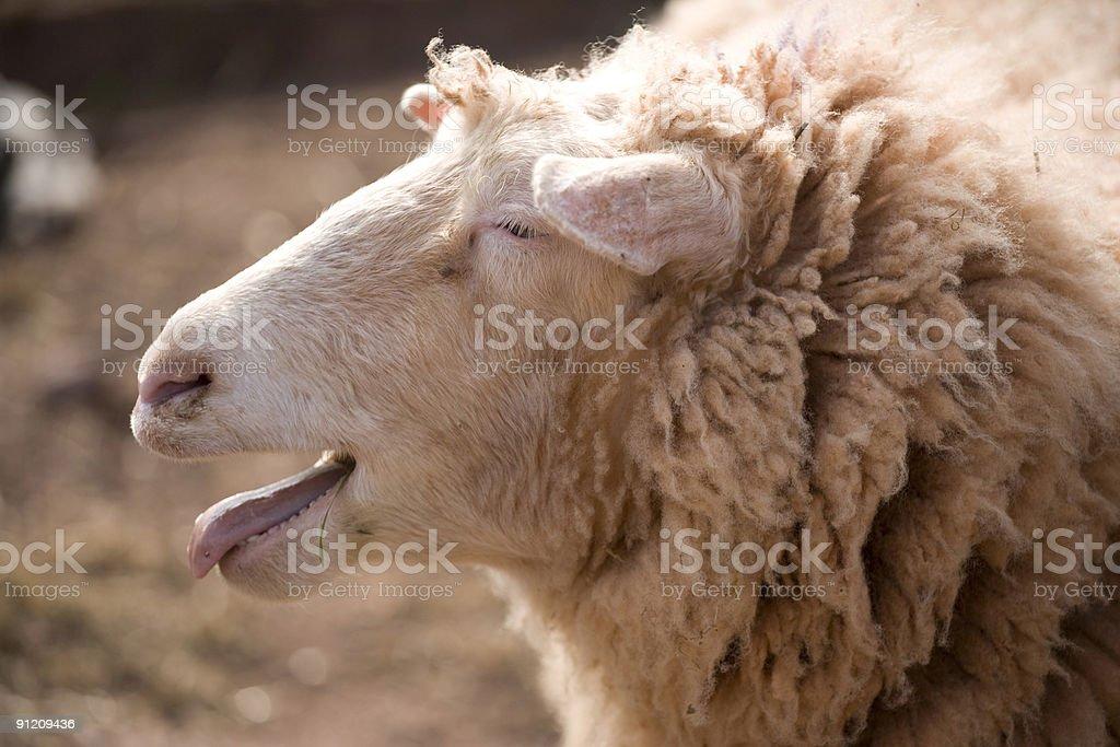 Bleating Sheep stock photo