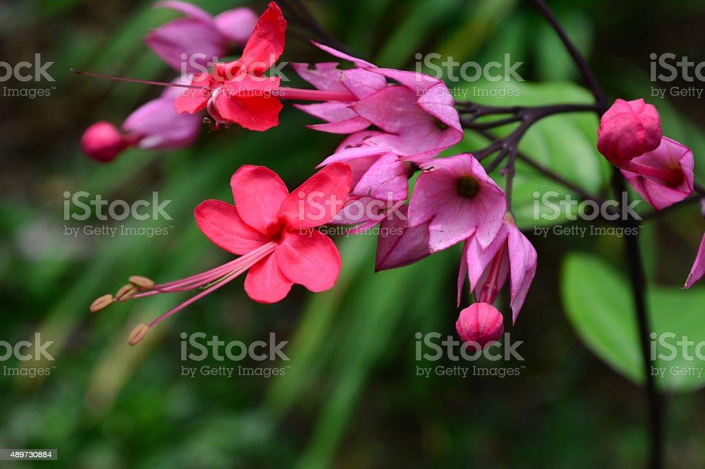 bleeding glory-bower - Clerodendron thomsoniae stock photo