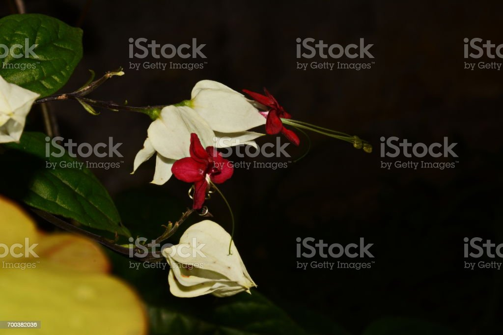 Bleeding glory-bower flowers stock photo
