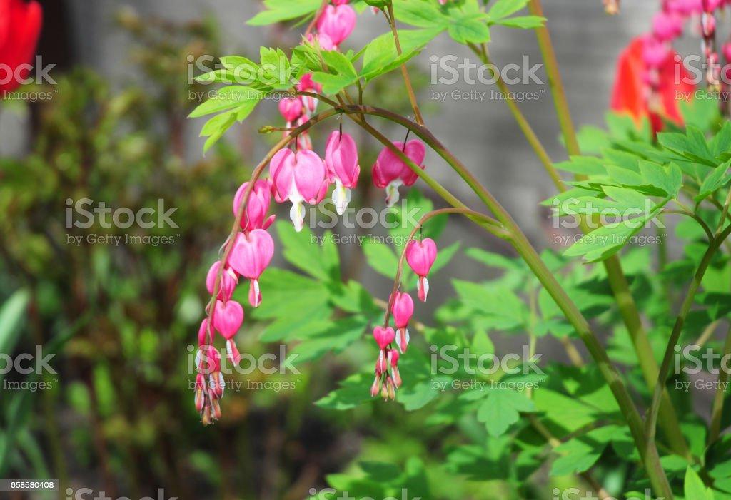 Bleeding Heart flower, Dicentra spectabilis in the garden. stock photo