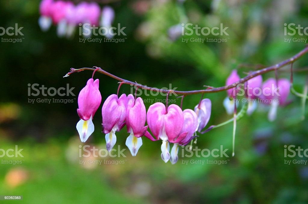 Bleeding heart flower - Dicentra spectabilis royalty-free stock photo