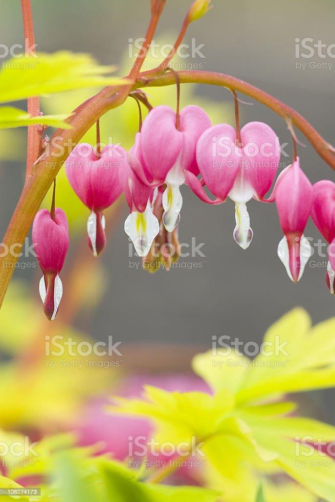 Bleeding Heart (Dicentra spectabilis) 'Gold Heart' - VII royalty-free stock photo