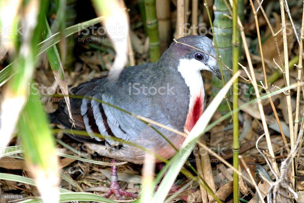 Bleeding Heart Pigeon stock photo