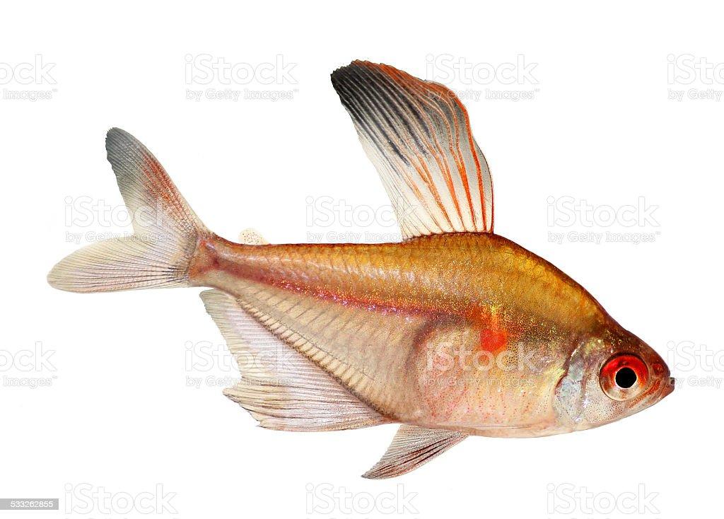 Bleeding Heart Tetra Hyphessobrycon Eryhrostigma aquarium fish white background stock photo