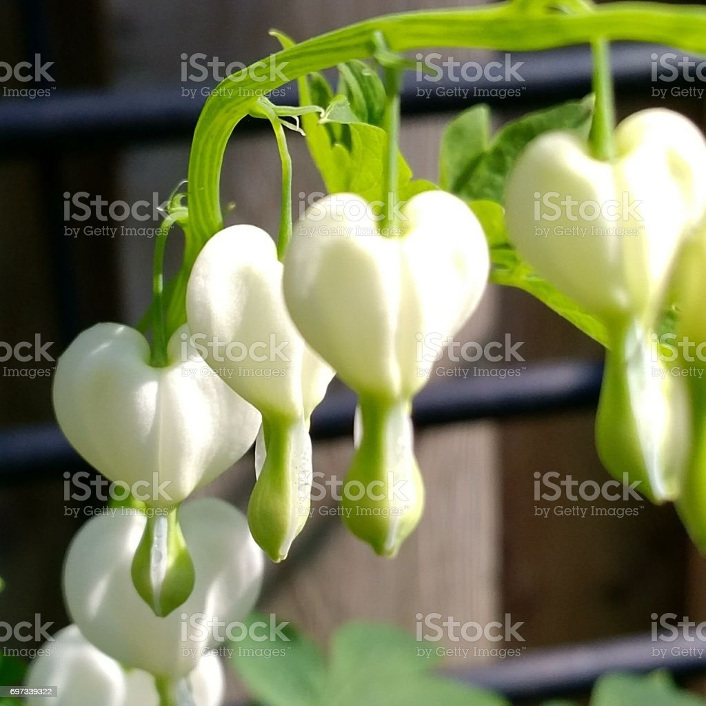 Bleeding Hearts Flowers White stock photo