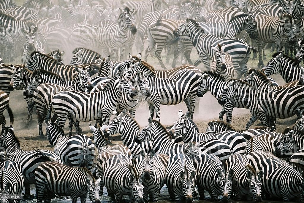 Blend in with the crowd - Zebra herd royalty-free stock photo
