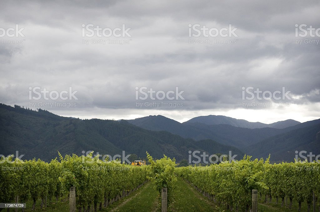 Blenheim Vineyard stock photo