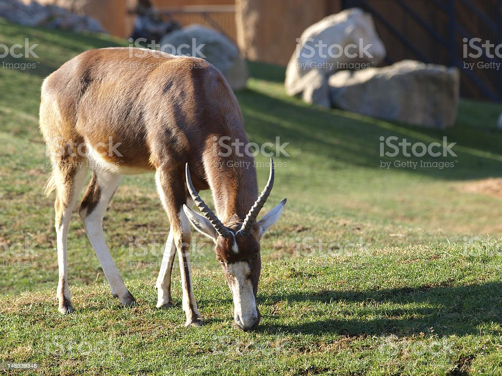 Blesbok royalty-free stock photo