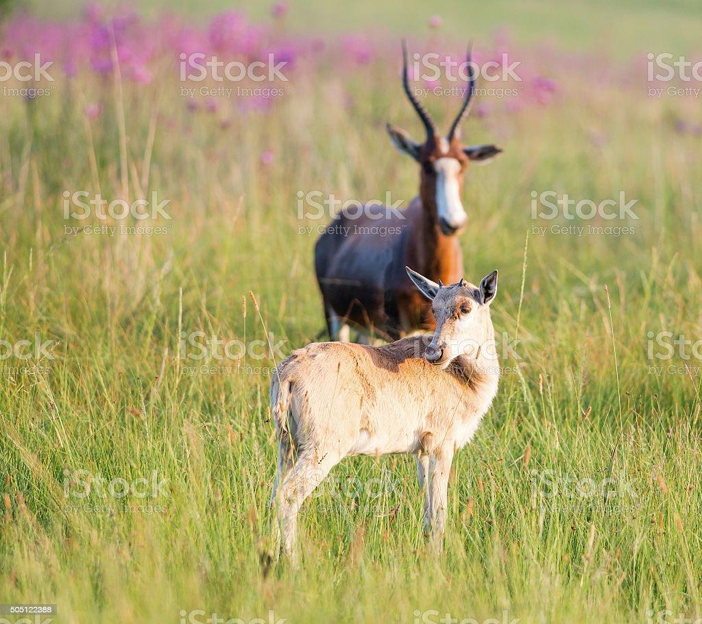 Blesbuck calf looking over shoulder stock photo