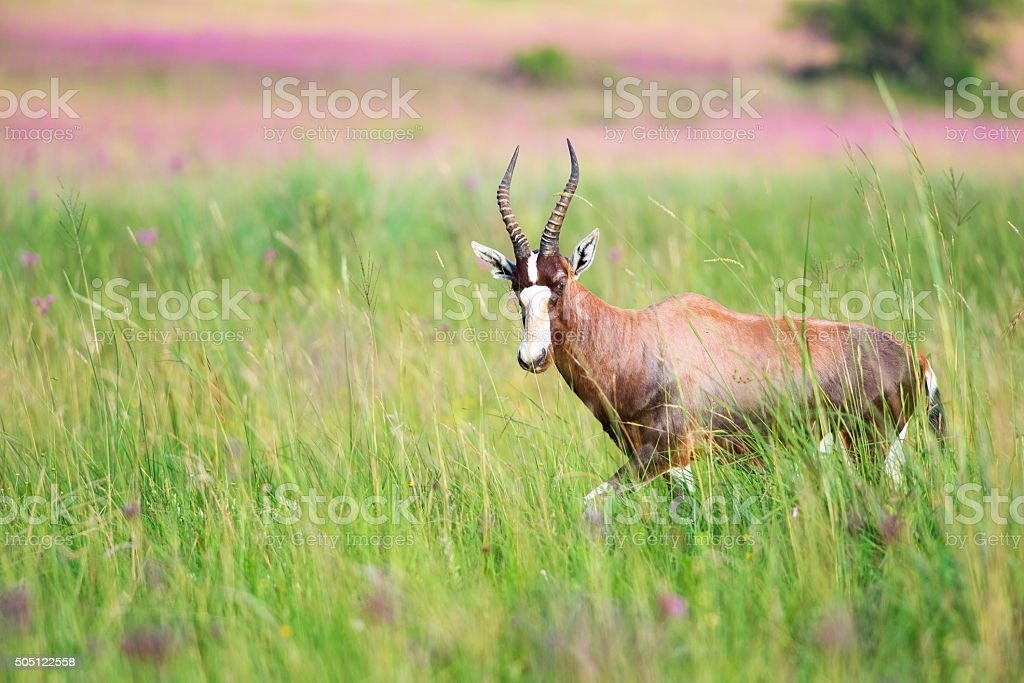 Blesbuck with pom pom in background stock photo