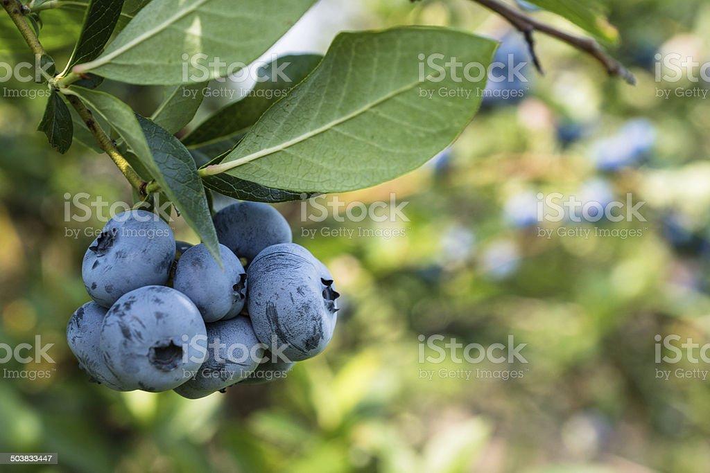bleuets stock photo