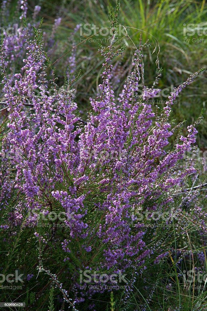 Blühender Heidestrauch - Flowering heath shrub stock photo