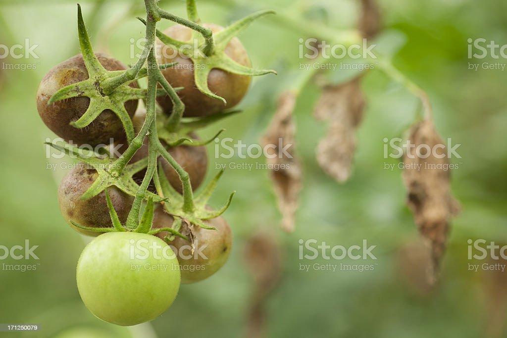 Blight in Tomato royalty-free stock photo