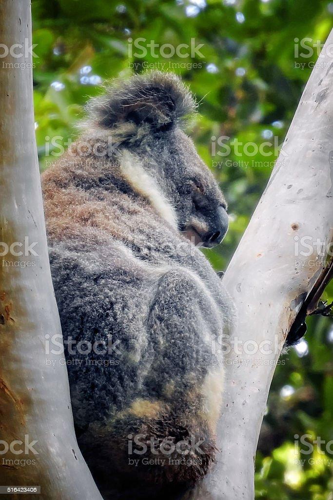 Blind Koala stock photo