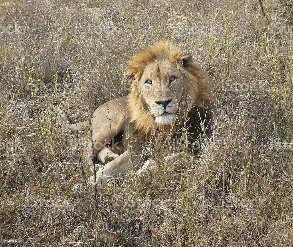 Blind Lion royalty-free stock photo