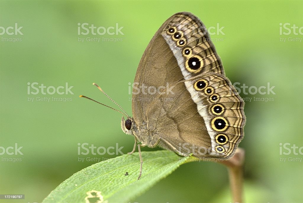Blind Purple Bush Brown (Singapore butterfly) royalty-free stock photo