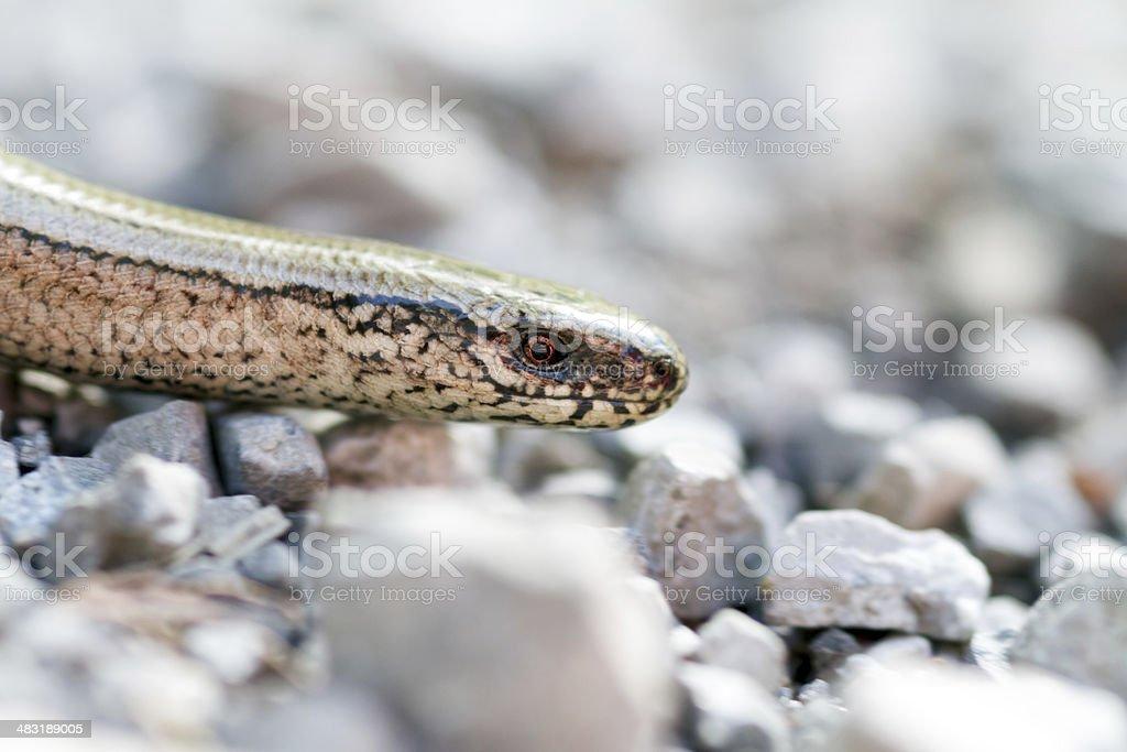 Blind worm - Anguis fragilis stock photo