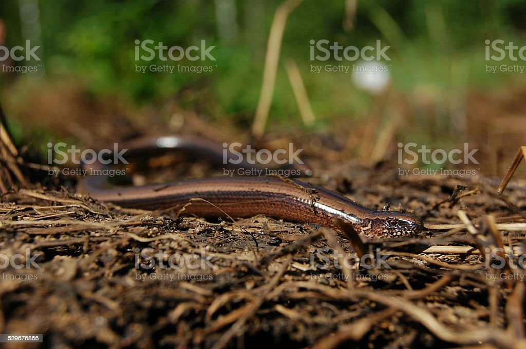 Blindworm or slow worm stock photo