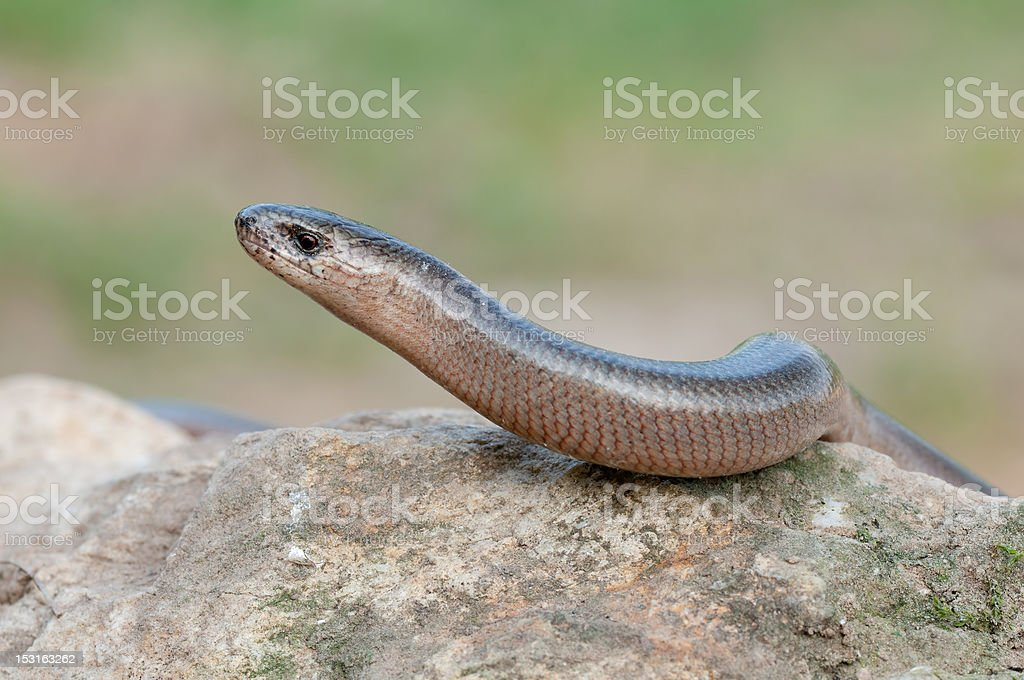 Blindworm stock photo