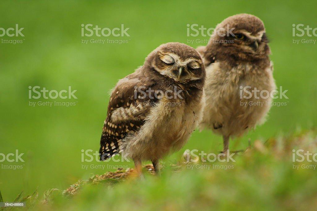 Blink Babies Burrowing Owl stock photo