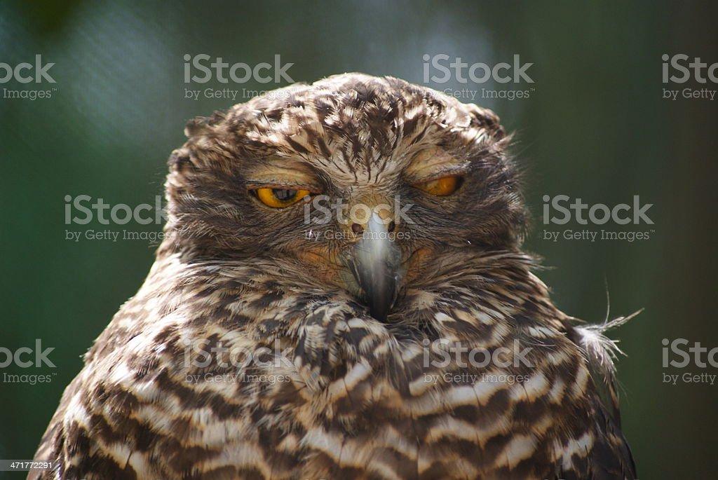 blinking owl royalty-free stock photo