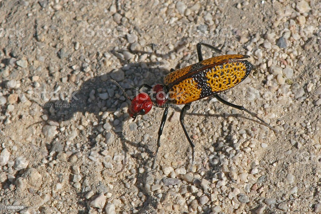 blister beetle and shadow royalty-free stock photo