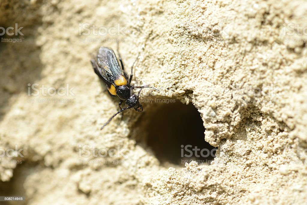 Blister beetle (Sitaris muralis) on insect hotel stock photo