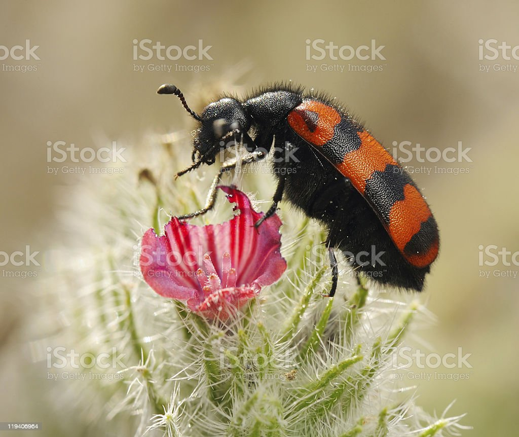 Blister beetles on a flower stock photo