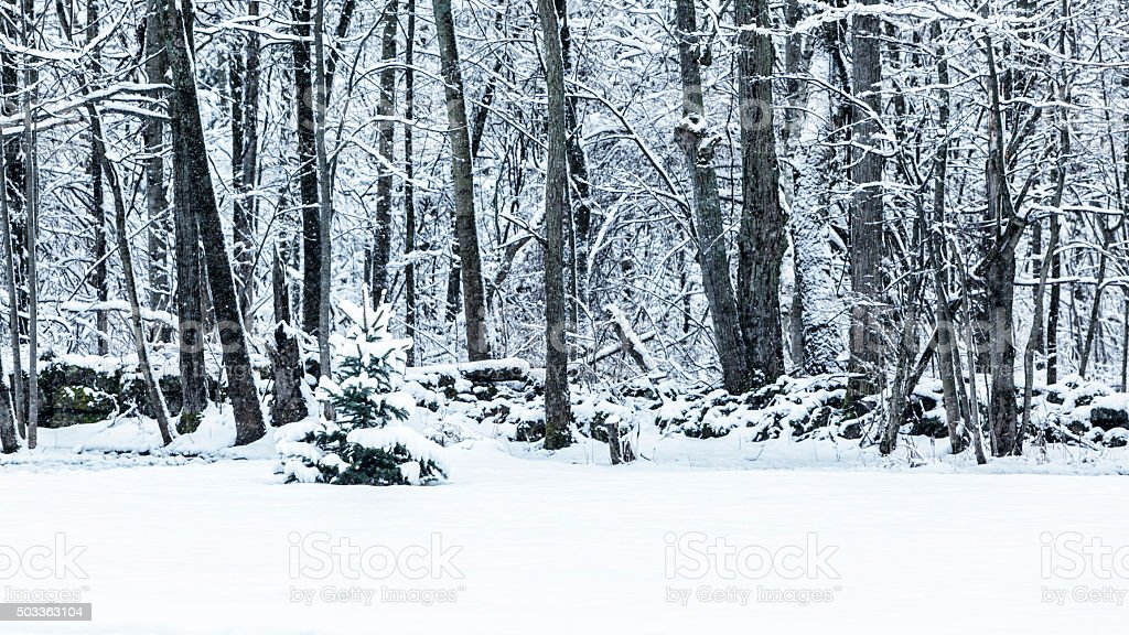 Blizzard Snow Storm Adirondacks Forest Evergreen Tree stock photo