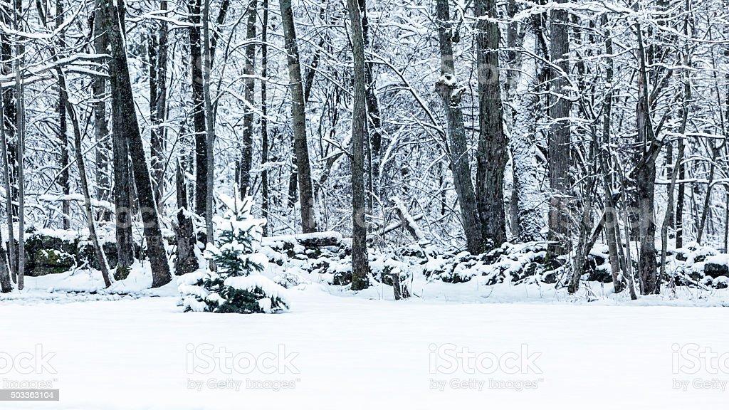 Blizzard Snow Storm Adirondacks Forest Evergreen Tree stock photo