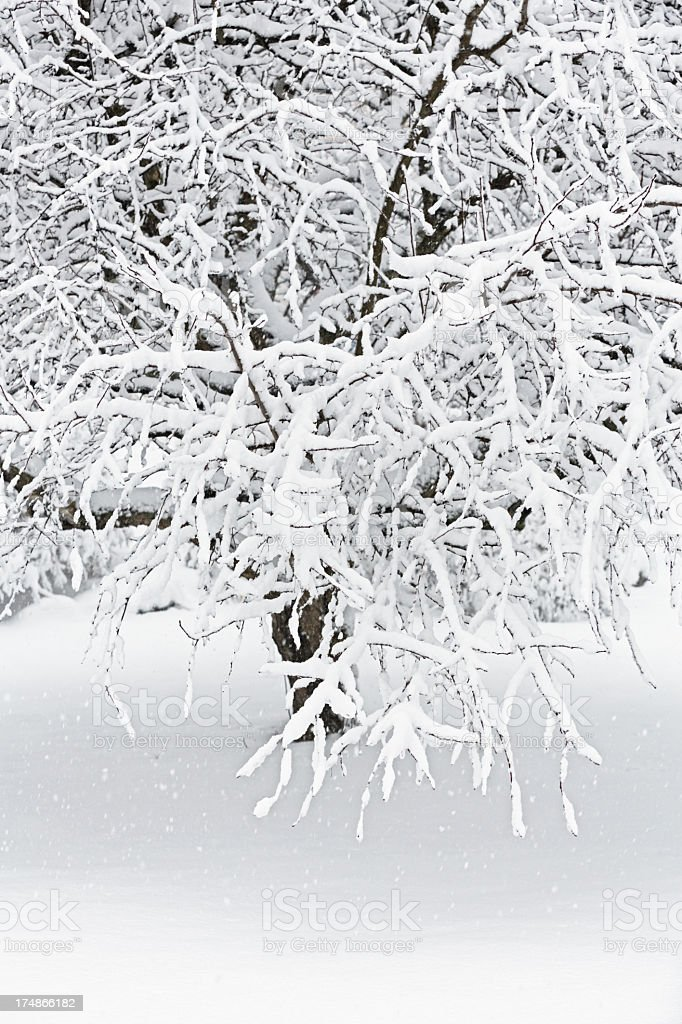 Blizzard Winter Crabapple Tree stock photo