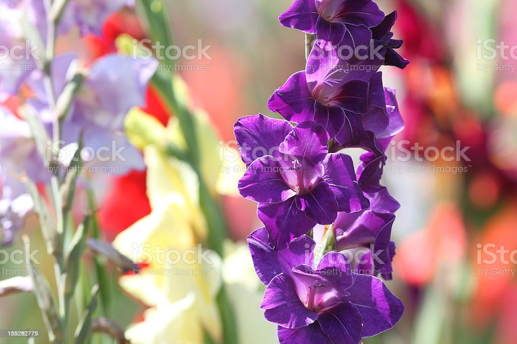 bloming gladiolus field stock photo