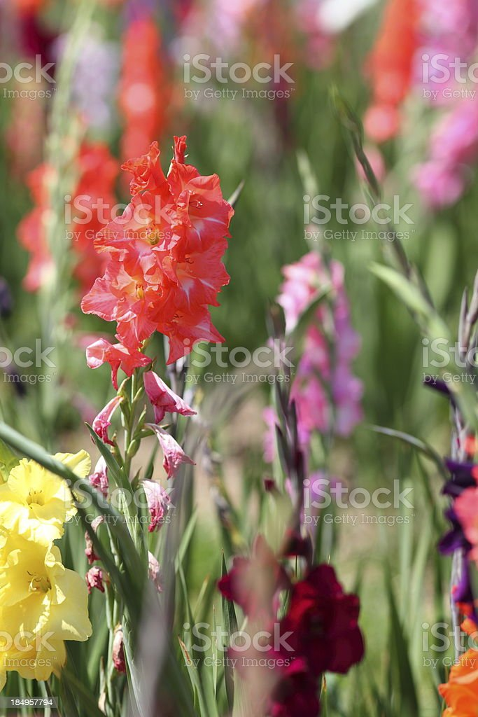 bloming gladiolus field royalty-free stock photo