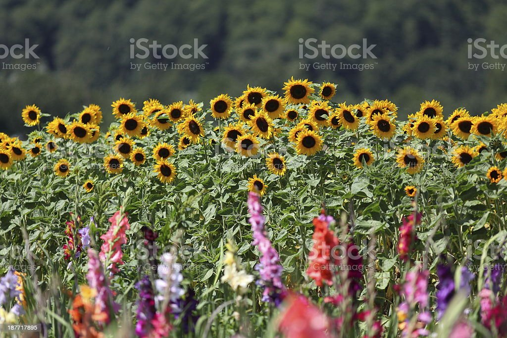 bloming gladiolus field with sunflowers royalty-free stock photo