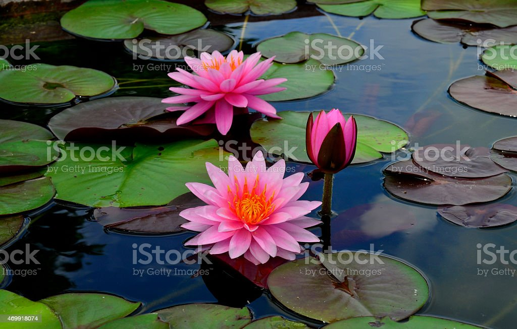 Blomming and bud Pink Lotus Flowers or water lily stock photo